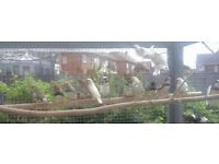 Zebra finches and bourkes for sale