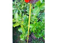 Cherry Laurel Hedging Plants (Evergreen):Ideal for privacy hedge/screening