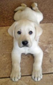 LOOKING FOR LAB PUPPY