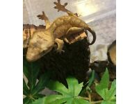 Crested Gecko Male baby