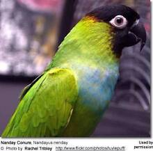 Nanday conure Joyner Pine Rivers Area Preview
