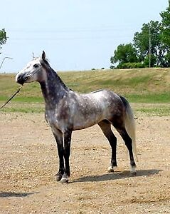 Half Andalusian and Half Arabian for lease