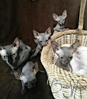 Magnifique chatons sphynx bleu-noir PRETS À PARTIR MAINTENANT