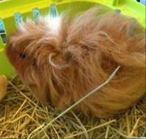 """Young Male Small & Furry - Guinea Pig: """"Carrot"""""""