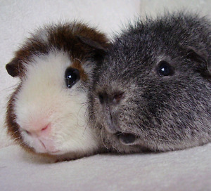 Wanted: Teddy or Abyssinian Guinea Pig