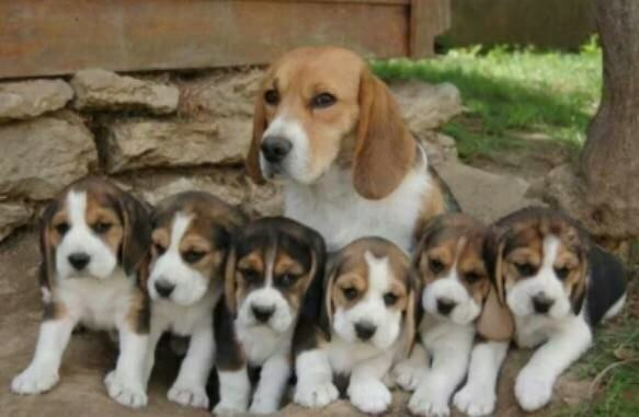 beagle puppies in worthing west sussex gumtree