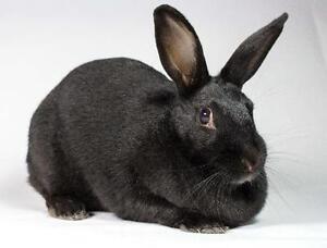 """Adult Female Rabbit - Bunny Rabbit: """"Midnight"""" Kingston Kingston Area image 3"""