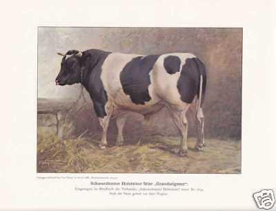 """Schwarzbunter Holsteiner Stier """"Grandseigneur"""" Farbdruck 1925 Reprint Rinder"""