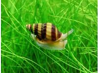 Bumblebee snail for sale