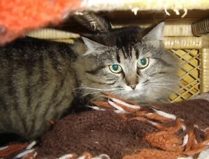 "Senior Female Cat - Tabby - Brown-Domestic Medium Hair: ""Razzle"""