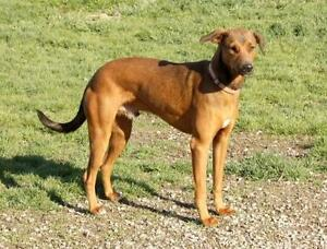 "Young Male Dog - Retriever: ""Shadow"""