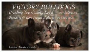 Top Quality CKC Reg'd French Bulldog Puppies Blue and Standards London Ontario image 8