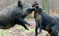Saskatchewan wild boar hunts available for this summer and fall