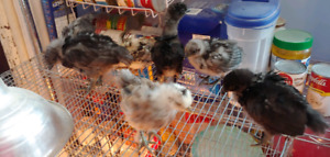 Baby mixed chicks