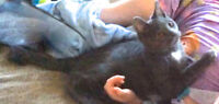Missing indoor male 9 mnth old gray cat
