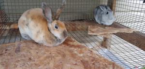 Trois magnifiques lapins Rex