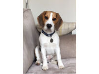 Beagle puppy 8 months old