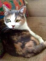 Adult Female  - Domestic Short Hair-Dilute Calico