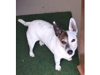 **LOST** Jack Russell Terrier (Male, White & Brown, Large, Chipped & Neutered)