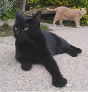 Stealth - Lost Male Cat - Black Shorthair London Ontario image 1