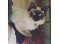 MISSING CAT - RAGDOLL / FERRAL
