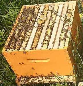 single honey bees hive for sale