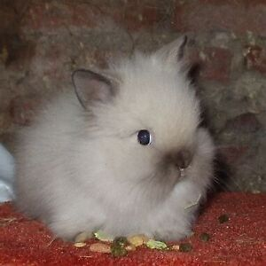 Looking for a dwarf lion-head bunny baby
