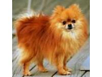 Pomeranian bitch