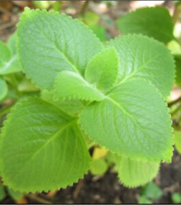 Mexican Mint/Spanish Thyme/Indian Borage Plant