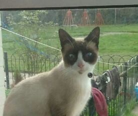 Female Cat / kitten half siamese