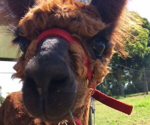 Alpacas - Male Alpaca Crias Available Now Canungra Ipswich South Preview
