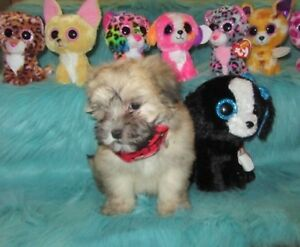 Chiots morkie