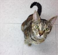 "Adult Female Cat - Domestic Short Hair: ""Tara"""