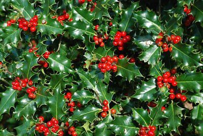 Nellie R Stevens Holly Tree - Healthy Potted Plant - Tall - 12 Plants - Nellie Stevens Holly