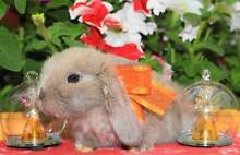 BABY DWARFS, LOPS AND DUTCH (ready now and at Christmas) Clayton Monash Area Preview