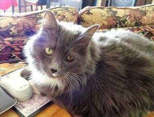 """Senior Female Cat - Domestic Long Hair: """"In Foster-Mitzy"""""""