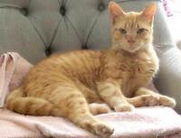 Adult Male  - Domestic Short Hair-orange-Tabby - Orange