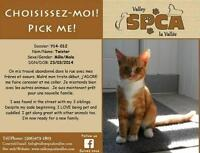 """Young Male Cat - Domestic Short Hair: """"Twister"""""""