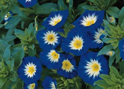 75+ ANNUAL FLOWER GARDEN SEEDS - MORNING GLORY  -