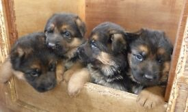 German Shepherd alsation puppies Kennel club registered (Pedigree registered)