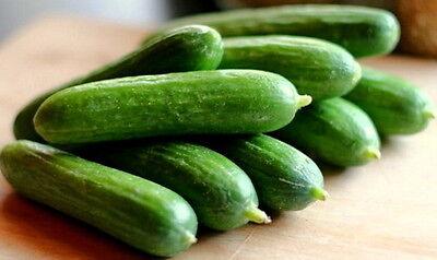 Muncher/'s Burpless Cucumber Seed Heirloom Vegetable Seeds 2.0gr to 25gr