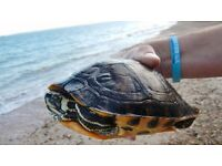 3 x Turtles (terrapins) - urgently require a new home.
