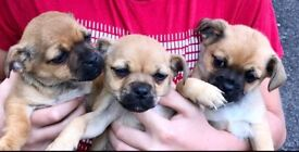 Jug/Pug puppies for sale