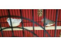 Pair of Zebra Finches with large cage