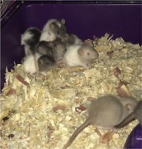 FREE YOUNG RATS