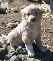 Aussie Doodle Pups, Merle, Goldens, Red, black, some blue eyes