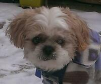 "Senior Male Dog - Shih Tzu: ""Levi - sweet  senior boy"""