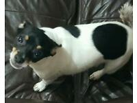 6 month old tri colour male chihuahua to rehome.