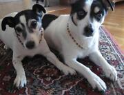 Bernsteinkette Hund
