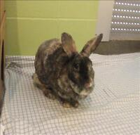 "Adult Female Rabbit - Mini Rex: ""Penny"""